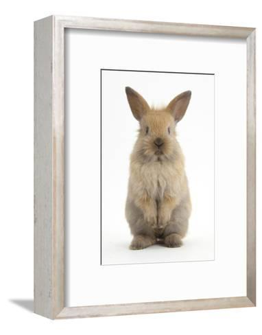 Baby Lionhead Cross Lop Rabbit, Standing-Mark Taylor-Framed Art Print