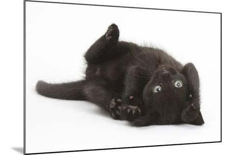 Black Kitten, 7 Weeks, Rolling on its Back-Mark Taylor-Mounted Photographic Print