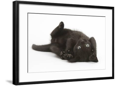 Black Kitten, 7 Weeks, Rolling on its Back-Mark Taylor-Framed Art Print