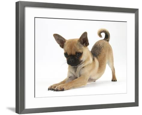 Chug (Pug X Chihuahua) Bitch in Play-Bow-Mark Taylor-Framed Art Print