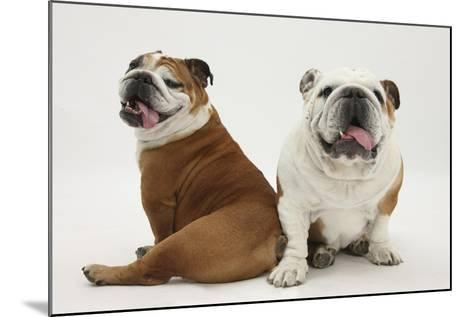 Two Bulldogs, Back to Back-Mark Taylor-Mounted Photographic Print