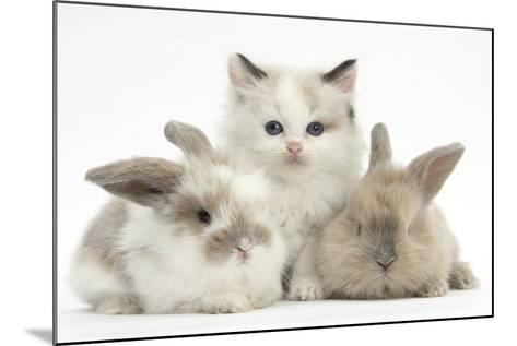 Colourpoint Kitten with Two Baby Rabbits-Mark Taylor-Mounted Photographic Print