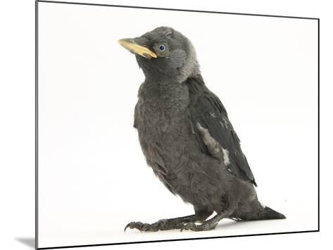 Baby Jackdaw (Corvus Monedula)-Mark Taylor-Mounted Photographic Print