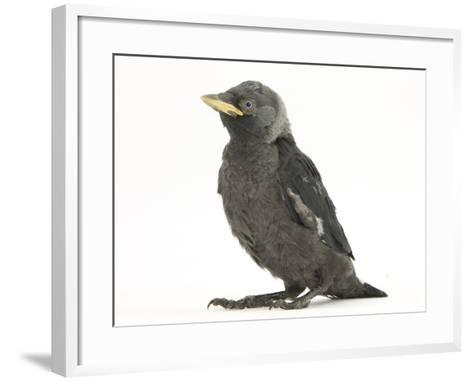 Baby Jackdaw (Corvus Monedula)-Mark Taylor-Framed Art Print