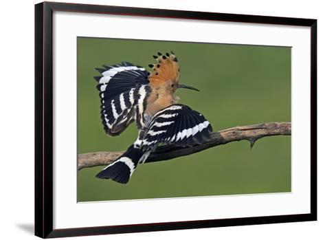 Hoopoe (Upupa Epops) Landing on Branch, Hortobagy Np, Hungary-Varesvuo-Framed Art Print