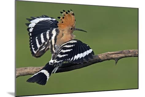 Hoopoe (Upupa Epops) Landing on Branch, Hortobagy Np, Hungary-Varesvuo-Mounted Photographic Print