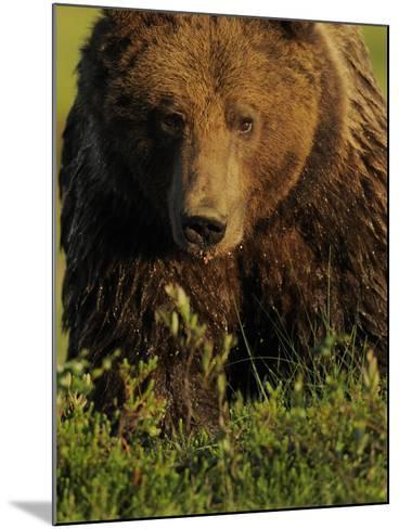 European Brown Bear (Ursus Arctos) Kuhmo, Finland, July 2009-Widstrand-Mounted Photographic Print