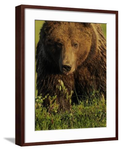 European Brown Bear (Ursus Arctos) Kuhmo, Finland, July 2009-Widstrand-Framed Art Print