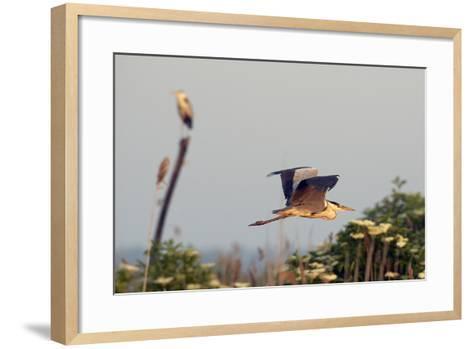 Grey Heron (Ardea Cinerea) Pusztaszer, Hungary, May 2008-Varesvuo-Framed Art Print