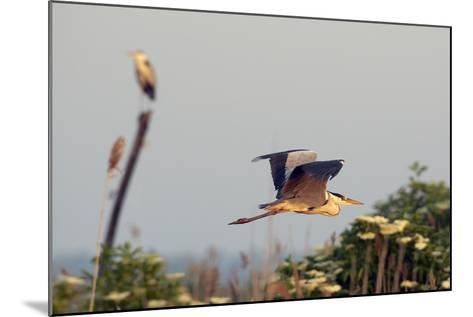 Grey Heron (Ardea Cinerea) Pusztaszer, Hungary, May 2008-Varesvuo-Mounted Photographic Print