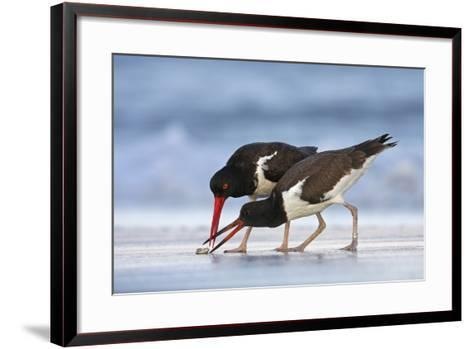 Young American Oystercatcher (Haematopus Palliatus) Snatching Food from Adult on the Shoreline-Mateusz Piesiak-Framed Art Print