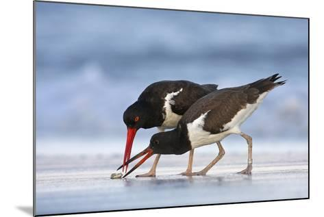 Young American Oystercatcher (Haematopus Palliatus) Snatching Food from Adult on the Shoreline-Mateusz Piesiak-Mounted Photographic Print