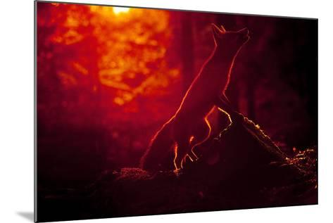 Red Fox (Vulpes Vulpes) Looking Up into Tree at Sunset, Backlit, Black Forest, Germany-Klaus Echle-Mounted Photographic Print