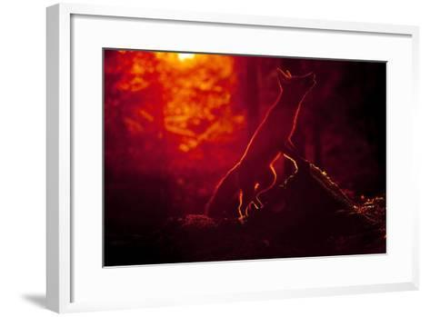 Red Fox (Vulpes Vulpes) Looking Up into Tree at Sunset, Backlit, Black Forest, Germany-Klaus Echle-Framed Art Print