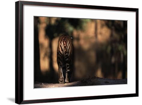 Rear View of Male Bengal Tiger Walking {Panthera Tigris Tigris} Kanha Np, India-Nick Garbutt-Framed Art Print