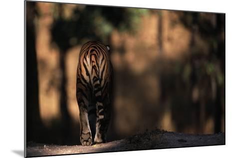 Rear View of Male Bengal Tiger Walking {Panthera Tigris Tigris} Kanha Np, India-Nick Garbutt-Mounted Photographic Print