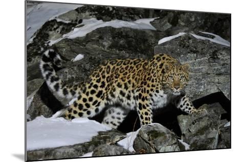 Wild Amur Leopard (Panthera Pardus Orientalis) on Rocky Hillside, Kedrovaya Pad Reserve, Russia-Vladimir Medvedev-Mounted Photographic Print