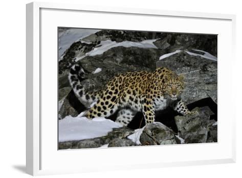 Wild Amur Leopard (Panthera Pardus Orientalis) on Rocky Hillside, Kedrovaya Pad Reserve, Russia-Vladimir Medvedev-Framed Art Print