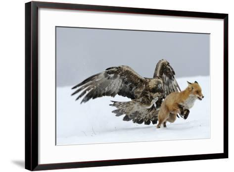 Golden Eagle (Aquila Chrysaetos) Adult Defending Carcass from Red Fox (Vulpes Vulpes), Bulgaria-Stefan Huwiler-Framed Art Print