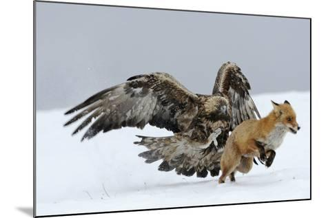Golden Eagle (Aquila Chrysaetos) Adult Defending Carcass from Red Fox (Vulpes Vulpes), Bulgaria-Stefan Huwiler-Mounted Photographic Print