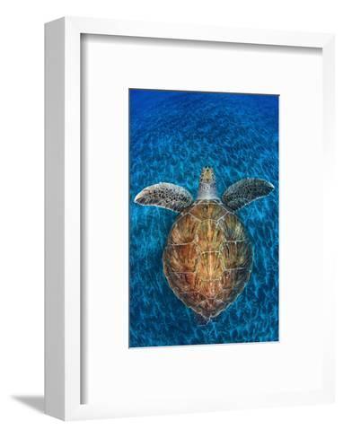 Green Turtle, (Chelonia Mydas), Swimming over Volcanic Sandy Bottom, Armenime Cove, Canary Islands-Jordi Chias-Framed Art Print
