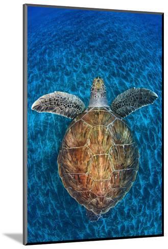 Green Turtle, (Chelonia Mydas), Swimming over Volcanic Sandy Bottom, Armenime Cove, Canary Islands-Jordi Chias-Mounted Photographic Print