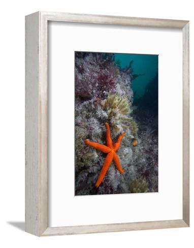 Red Sea Star (Echinaster Sepositus) and Bryozoans Fauna. Channel Islands, UK July-Sue Daly-Framed Art Print