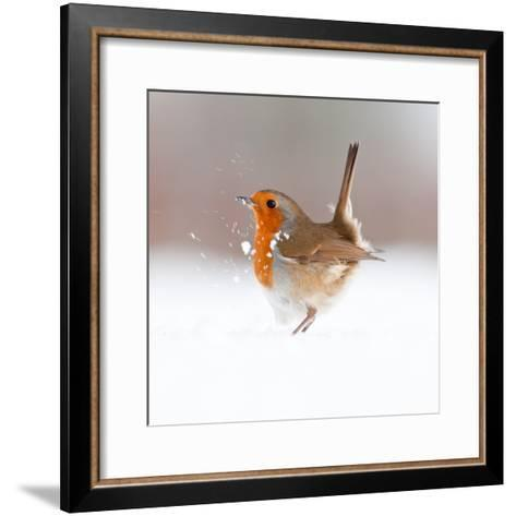 Robin (Erithacus Rubecula) Displaying in Snow, Nr Bradworthy, Devon, UK-Ross Hoddinott-Framed Art Print