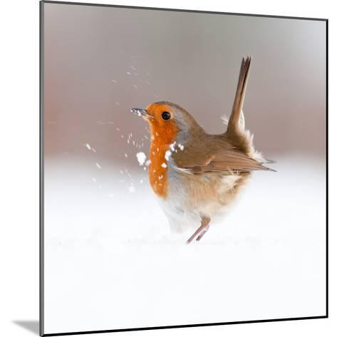 Robin (Erithacus Rubecula) Displaying in Snow, Nr Bradworthy, Devon, UK-Ross Hoddinott-Mounted Photographic Print