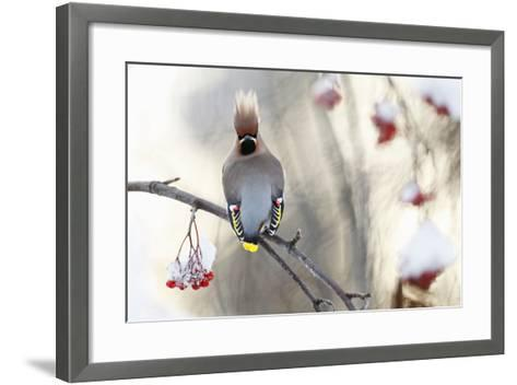 Waxwing (Bombycilla Garrulus) Perched on Snow Covered Rowan Branch (Sorbus Sp), Kuusamo, Finland-Markus Varesvuo-Framed Art Print
