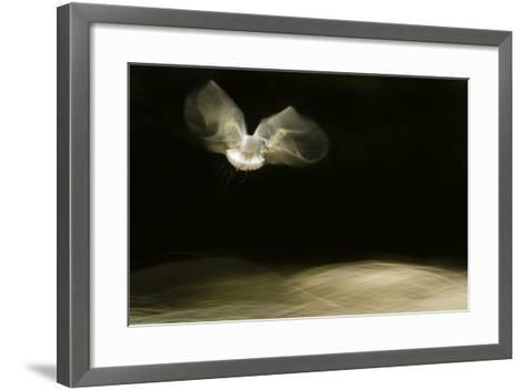 Black-Headed Gull (Chroicocephalus Ridibundus) in Flight, Cheshire, UK-Ben Hall-Framed Art Print