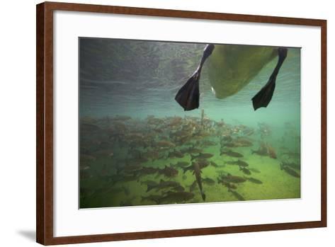 Chub Fish (Leuciscus Cephalus) and Mute Swan (Cygnus Color) Swimming Over, Rhine River, Switzerland-Michel Roggo-Framed Art Print