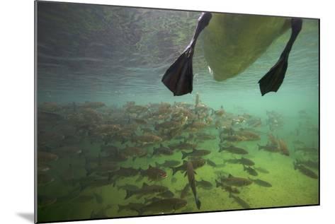 Chub Fish (Leuciscus Cephalus) and Mute Swan (Cygnus Color) Swimming Over, Rhine River, Switzerland-Michel Roggo-Mounted Photographic Print