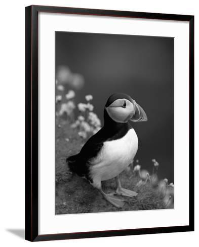 Puffin Portrait, Great Saltee Is, Ireland-Pete Oxford-Framed Art Print