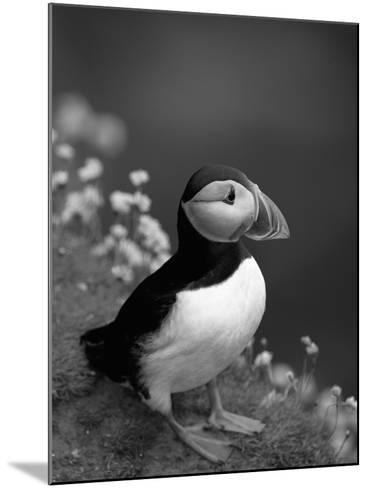 Puffin Portrait, Great Saltee Is, Ireland-Pete Oxford-Mounted Photographic Print