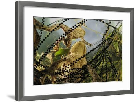 Pair of Common European Toads (Bufo Bufo) with Strings of Toadspawn, in Pond, Germany-Solvin Zankl-Framed Art Print