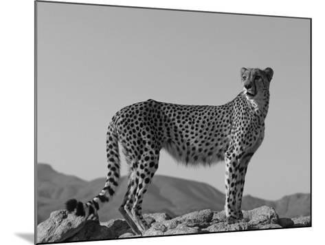 Portrait of Standing Cheetah, Tsaobis Leopard Park, Namibia-Tony Heald-Mounted Photographic Print