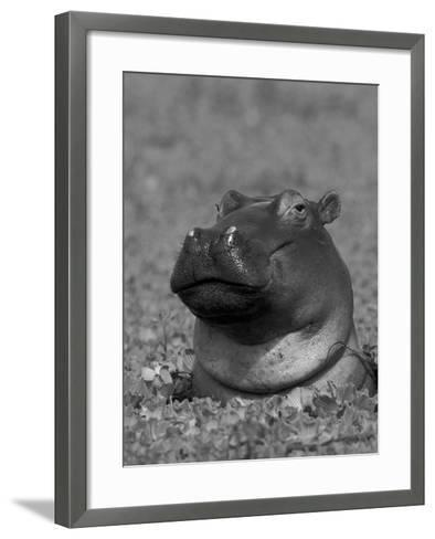 Hippopotamus Surrounded by Water Lettuce, Kruger National Park, South Africa-Tony Heald-Framed Art Print