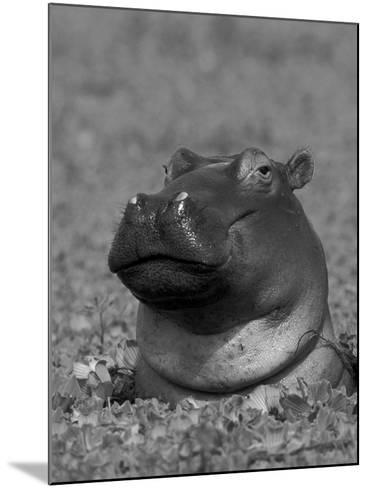 Hippopotamus Surrounded by Water Lettuce, Kruger National Park, South Africa-Tony Heald-Mounted Photographic Print