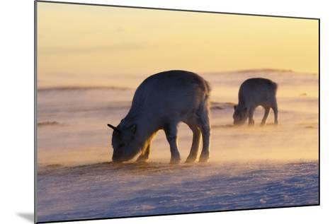 Svalbard Reindeer-Espen Bergersen-Mounted Photographic Print