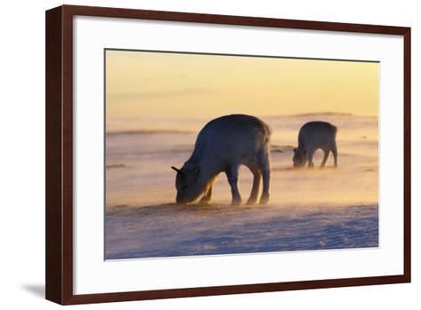 Svalbard Reindeer-Espen Bergersen-Framed Art Print