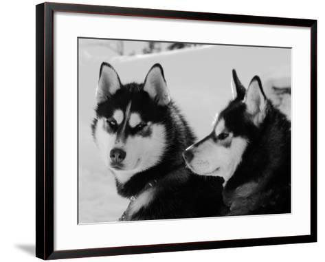 Siberian Husky Sled Dogs Pair in Snow, Northwest Territories, Canada March 2007-Eric Baccega-Framed Art Print