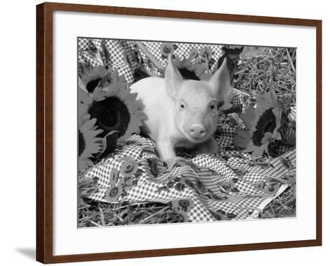 Domestic Piglet and Sunflowers, USA-Lynn M^ Stone-Framed Art Print
