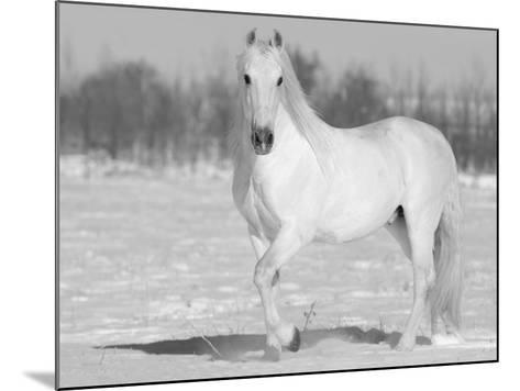Grey Andalusian Stallion Portrait in Snow, Longmont, Colorado, USA-Carol Walker-Mounted Photographic Print