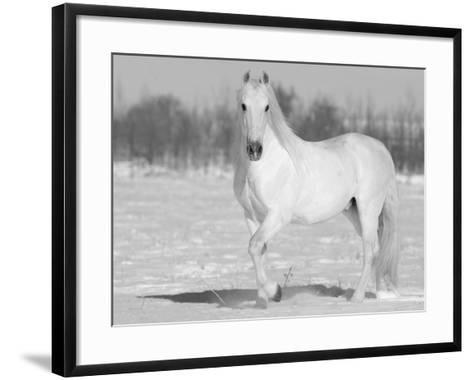 Grey Andalusian Stallion Portrait in Snow, Longmont, Colorado, USA-Carol Walker-Framed Art Print