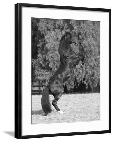 Bay Azteca (Half Andalusian Half Quarter Horse) Stallion Rearing on Hind Legs, Ojai, California-Carol Walker-Framed Art Print