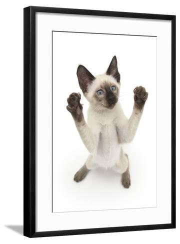 Siamese Kitten, 10 Weeks, Reaching Up-Mark Taylor-Framed Art Print