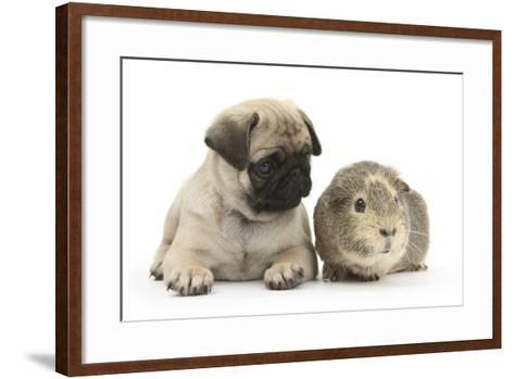 Fawn Pug Puppy, 8 Weeks, and Guinea Pig-Mark Taylor-Framed Art Print