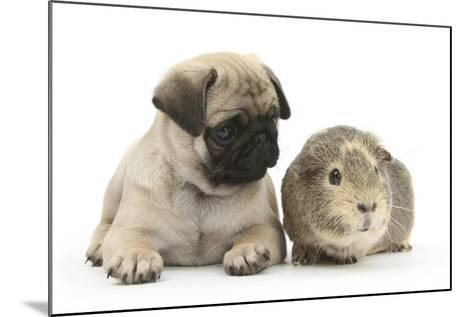 Fawn Pug Puppy, 8 Weeks, and Guinea Pig-Mark Taylor-Mounted Photographic Print