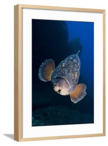 Dusky Grouper (Epinephelus Marginatus) Lavezzi Islands, Corsica, France, September- Pitkin-Framed Art Print